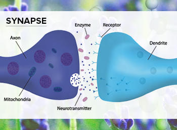 Synapse Graphic for Lavender (Lavandula angustifolia)