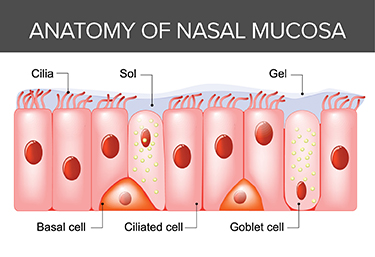 Anatomy of Nasal Mucus