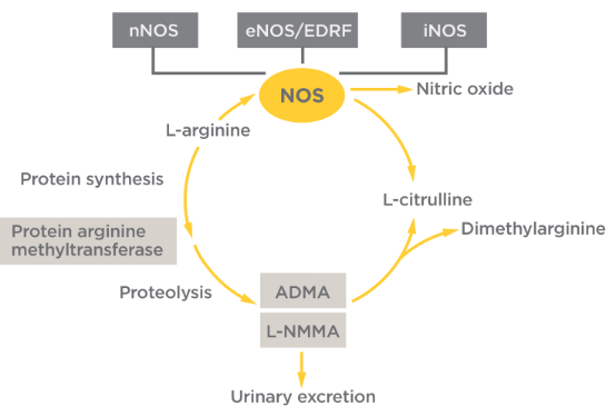 vascular endothelial cells synthesise nitric oxide from l arginine Synthesis of nitric oxide (or nnos), endothelial nos are constitutively expressed in mammalian cells and synthesise no in response to increases in.
