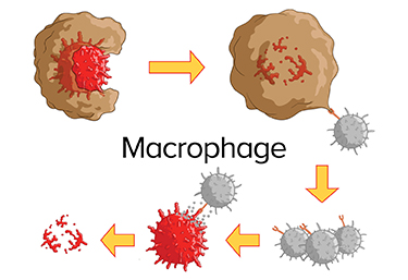 Macrophages Infographic