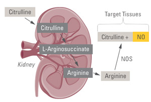 The role of argninine and citrulline in NO synthesis